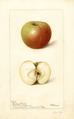 Apples, Andrews Winter (1897)
