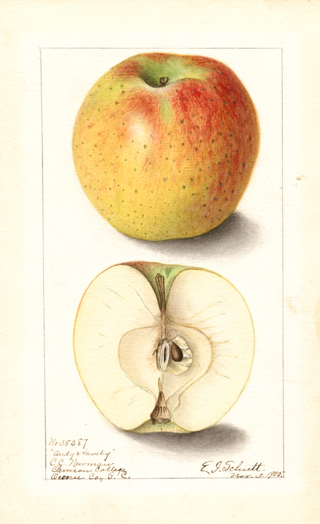 Apples, Andy Hamby (1905)