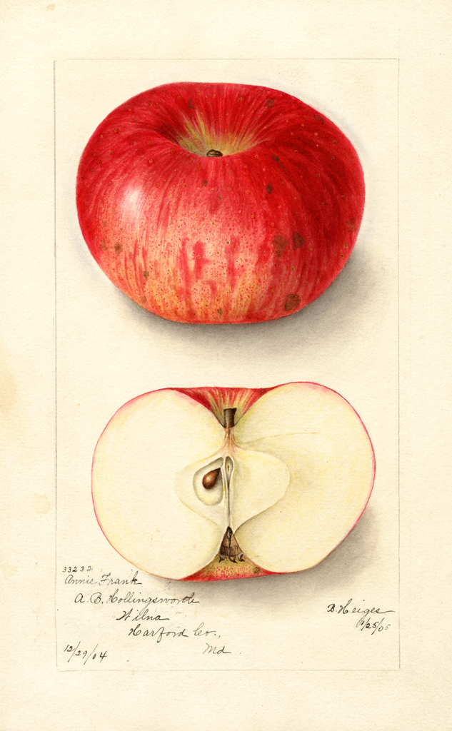 Apples, Annie Frank (1905)