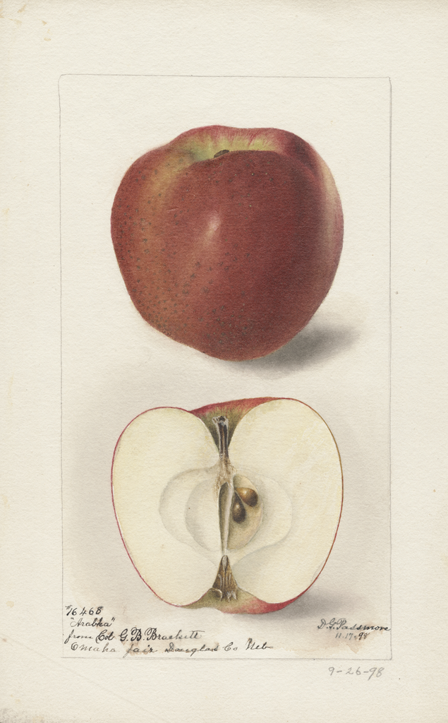 Apples, Arabka (1898)