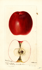 Apples, Archibald (1896)