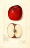 Apples, Archibald (1912)