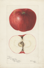 Apples, Arctic (1896)