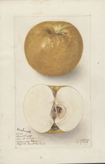 Apples, Ardwell (1906)