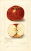 Apples, Babcocks No. 13 (1907)