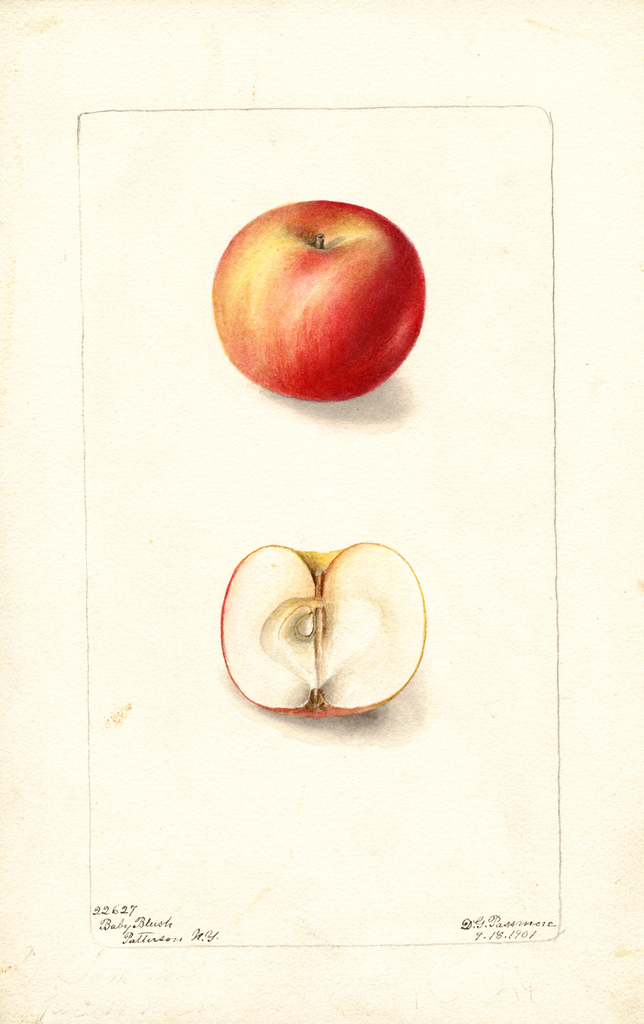Apples, Baby Blush (1901)