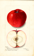 Apples, Bailey (1903)