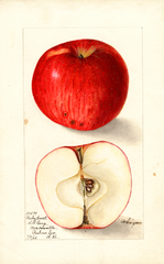 Apples, Bailey Sweet (1905)