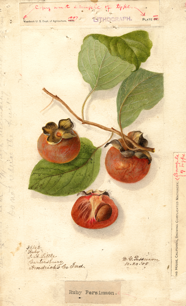 Persimmons, Ruby (1905)