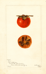 Persimmons, Saxe (1901)
