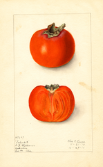 Persimmons, Taber 23 (1910)