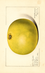 Grapefruits, Silver Cluster (1916)