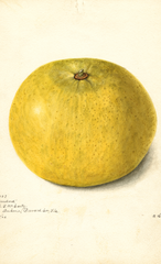Grapefruits, Standard (1902)