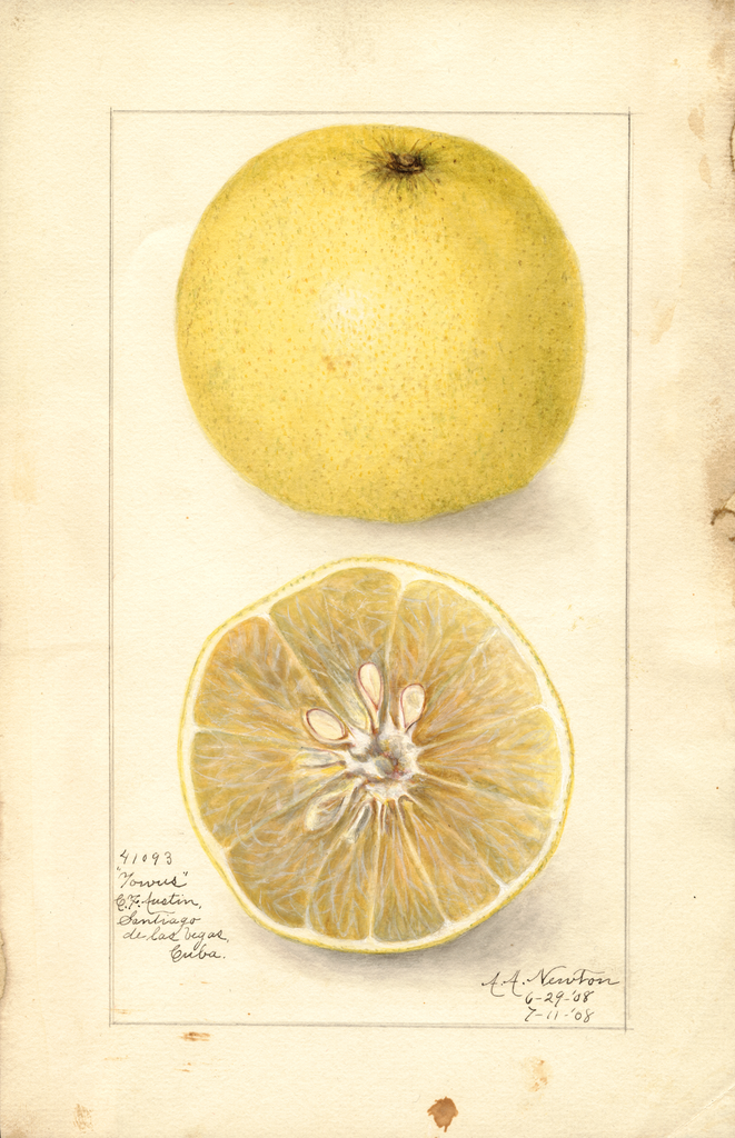 Grapefruits, Towus (1908)
