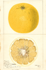 Grapefruits, Triumph (1897)