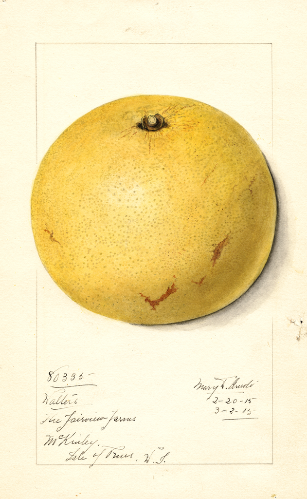 Grapefruits, Walters (1915)