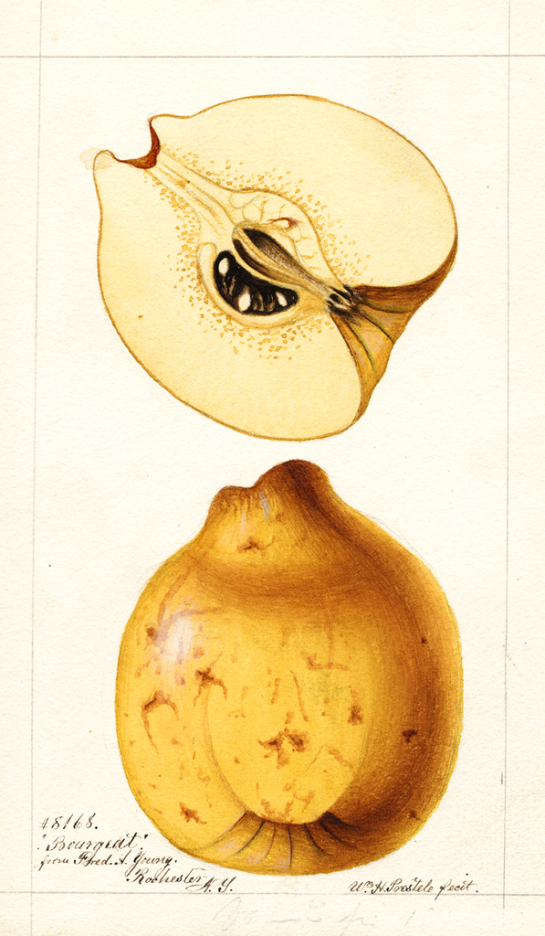 Quinces, Bourgeat