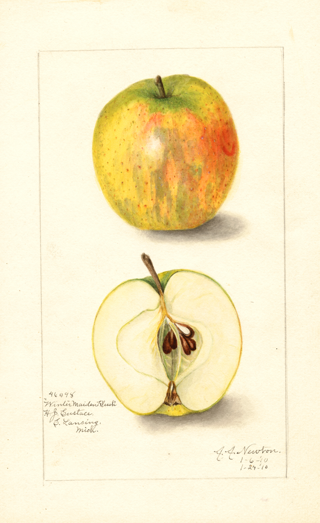 Apples, Winter Maiden Blush (1910)