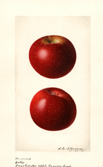 Apples, Yates (1921)