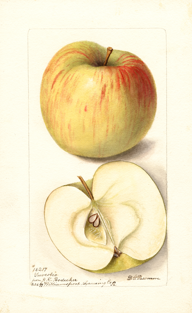 Apples, Yawcobia (1899)