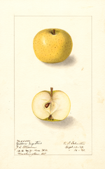 Apples, Yellow Ingestrie (1909)
