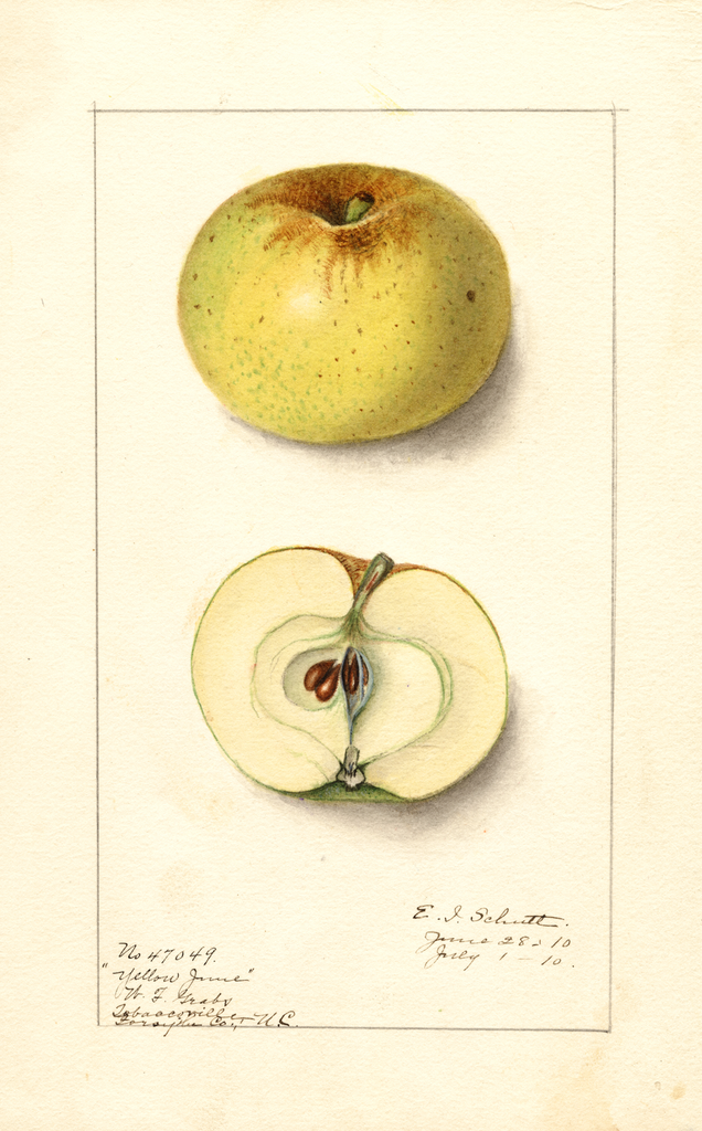 Apples, Yellow June (1910)