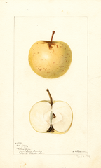 Apples, Yellow June (1894)