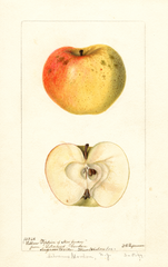 Apples, Yellow Pippin Of New Jersey (1897)