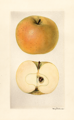 Apples, Yellow Skin (1928)