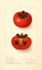 Persimmons, Triumph (1906)