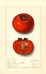 Persimmons, Triumph (1913)