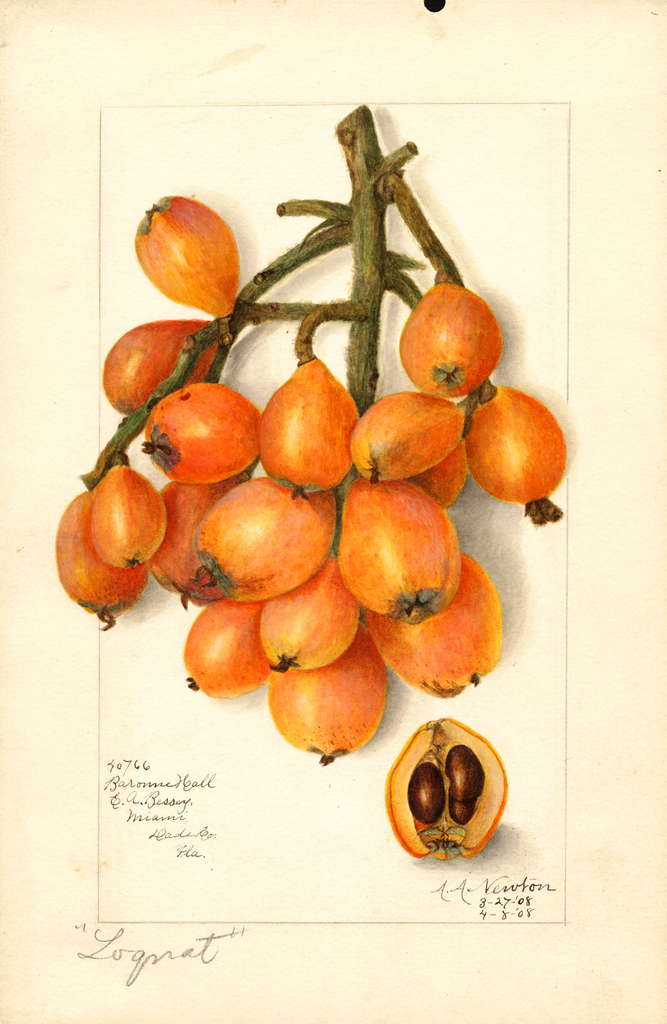 Loquats, Baronne Hall (1908)