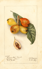 Loquats, Baronne Hall (1909)