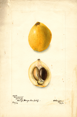 Loquats, Commercial (1903)