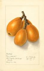 Loquats, Commercial (1907)