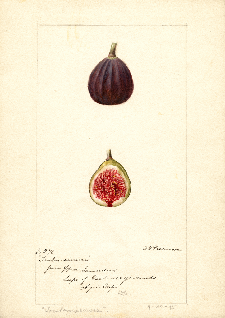 Figs, Toulousienne (1895)