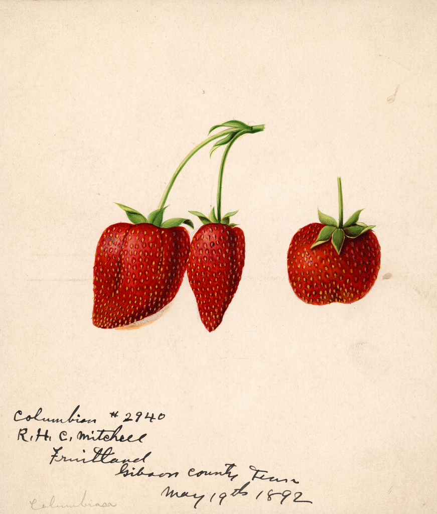 Strawberries, Columbia (1892)