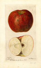 Apples, Abraham (1895)