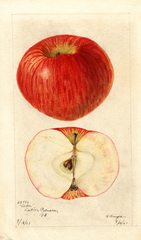 Apples, Acker (1901)
