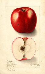 Apples, Ada Red (1906)