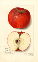 Apples, York Stripe (1912)