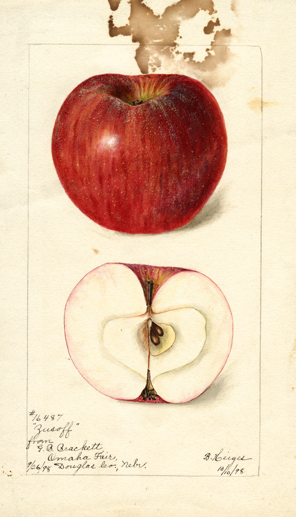 Apples, Zusoff (1898)