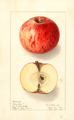Apples, Baraboo (1909)