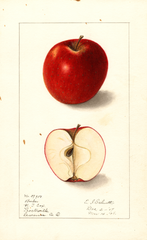 Apples, Barber (1908)
