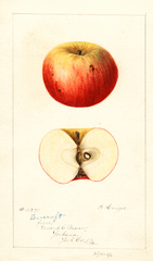 Apples, Barcroft (1896)