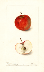 Apples, Barndoor (1899)