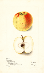 Apples, Barnsley (1899)