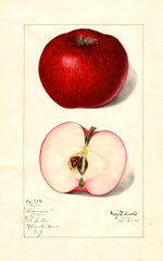 Apples, Barringer (1915)