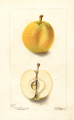 Apples, Barry (1901)