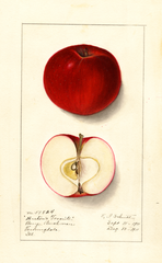 Apples, Bartons Favorite (1911)